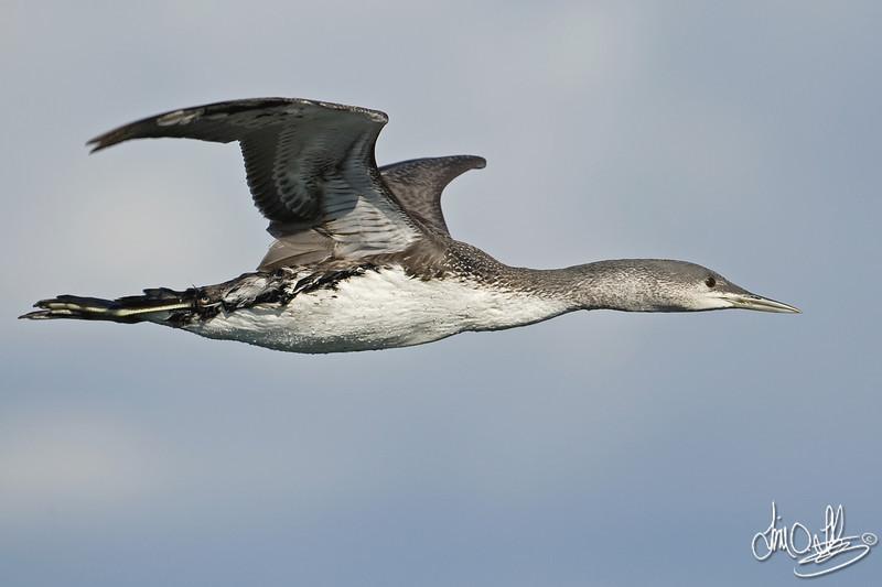 Common Loon In-Flight