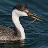 Western Grebe with a Fish
