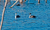 Western Grebes - Spring 2010 - Lake Hodges - Chicks on board ( 3 )