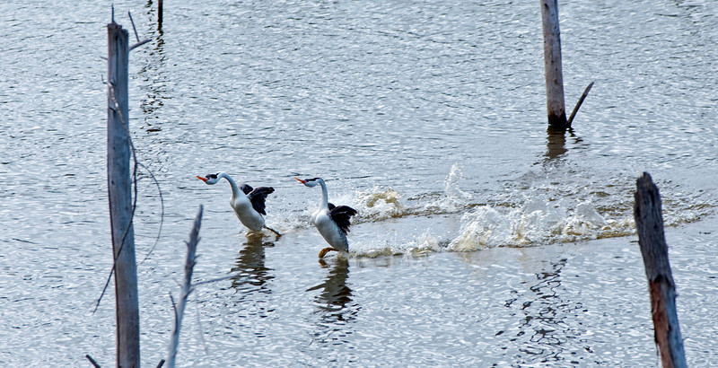 "Clark's Grebe couple ""rushing"" at Lake Hodges... Easter Sunday ~ April 3, 2010"