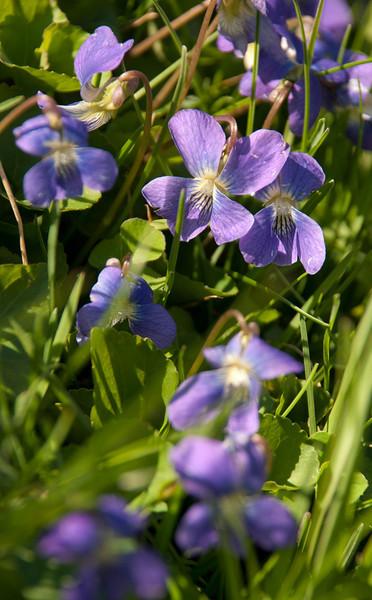GSP violets01
