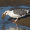Western Gull with a freshly caught octopus at low tide Bolsa Chica Wetlands • Huntington Beach, CA