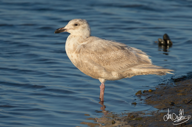 Glaucous-winged Gull Bolsa Chica Wetlands • Huntington Beach, CA