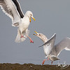 Western Gull and Herring Gull fighting over a freshly caught octopus Bolsa Chica Wetlands • Huntington Beach, CA