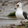 Western Gull with Starfish