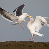Western Gull and Herring Gull