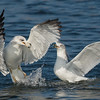 Ring-billed Gulls having a disagreement Bolsa Chica Wetlands • Huntington Beach, CA