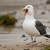 Western Gull with a prized starfish snack