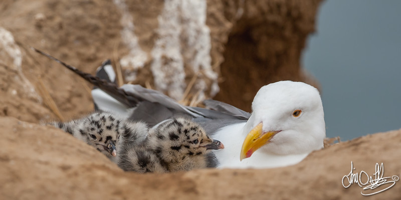 Western Gull and Chicks