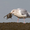Herring Gull with a freshly caught octopus Bolsa Chica Wetlands • Huntington Beach, CA