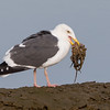 Western Gull with a freshly caught octopus Bolsa Chica Wetlands • Huntington Beach, CA