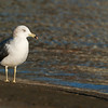 Extremely Rare Asian Black-tailed Gull