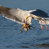 Western Gull catching an Octopus