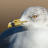 Ring-billed Gull Winter plumage Bolsa Chica Wetlands • Huntington Beach, CA