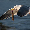 Western Gull with a fresh Octopus catch