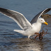 Western Gull with an Octopus catch