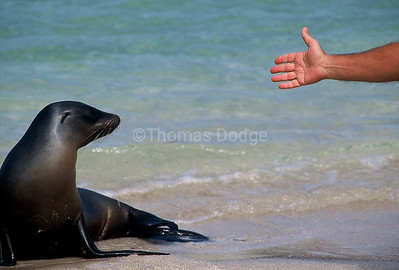 Sea Lion and tourist's hand.