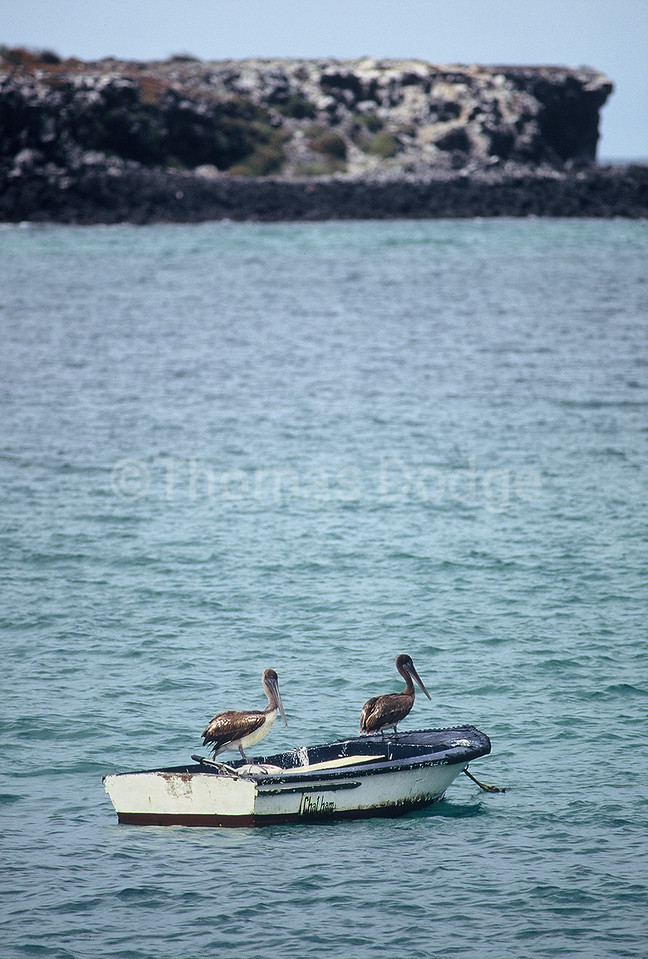 Pelicans on their perch.