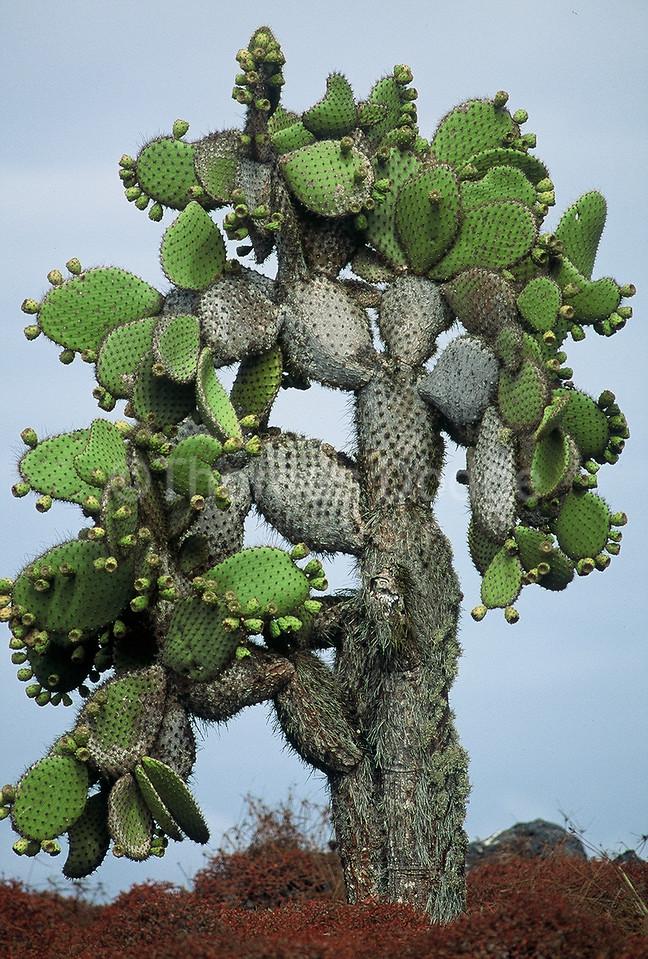 Ancient Cactus.