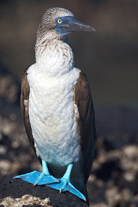 Blue footed booby, Galapagos. Published in the Spring/Summer 2012 issue of Destinations magazine (New Zealand).