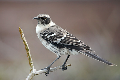 Galapagos mockingbird. Published in the Spring/Summer 2012 issue of Destinations magazine (New Zealand).