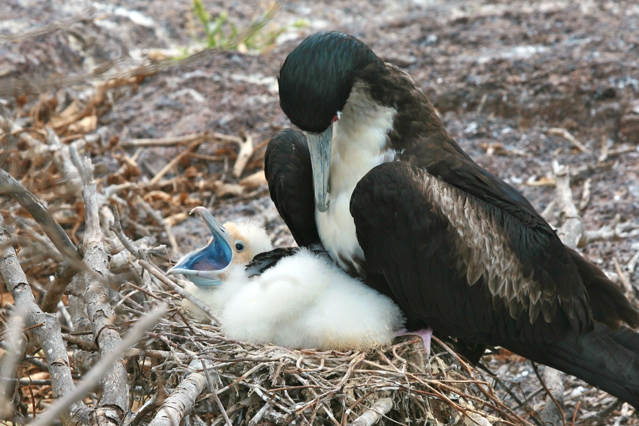 Frigate bird and chick
