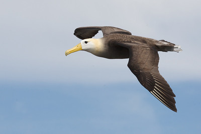 Waved Albatross. Published in the Spring/Summer 2012 issue of Destinations magazine (New Zealand).