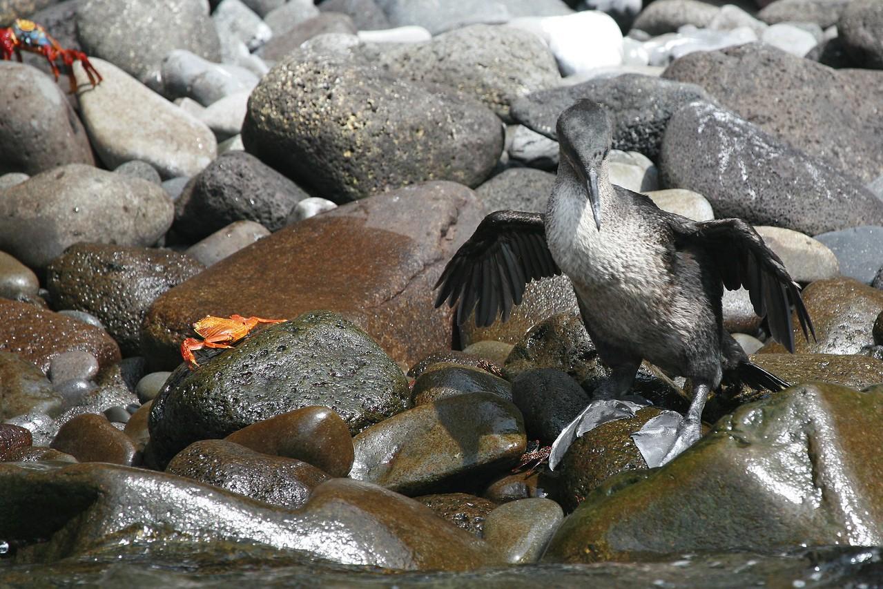 Galapagos flightless cormorant