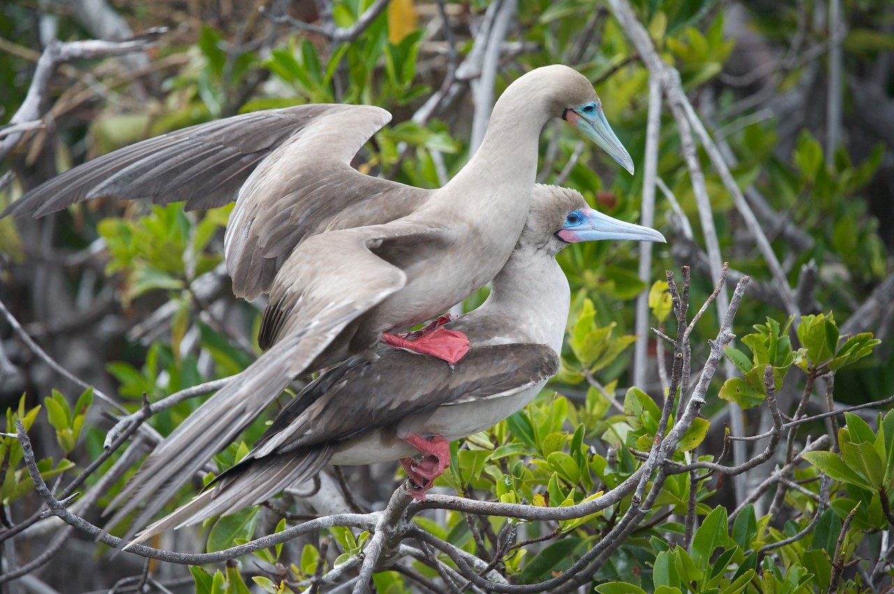 Red-footed boobies--the courting worked