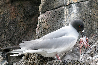 Swallow-tailed gull regurgitating a squid for chick