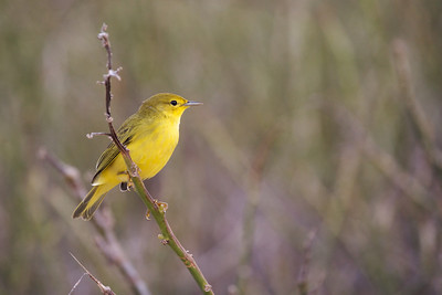 Yellow warbler. Published in the Spring/Summer 2012 issue of Destinations magazine (New Zealand).