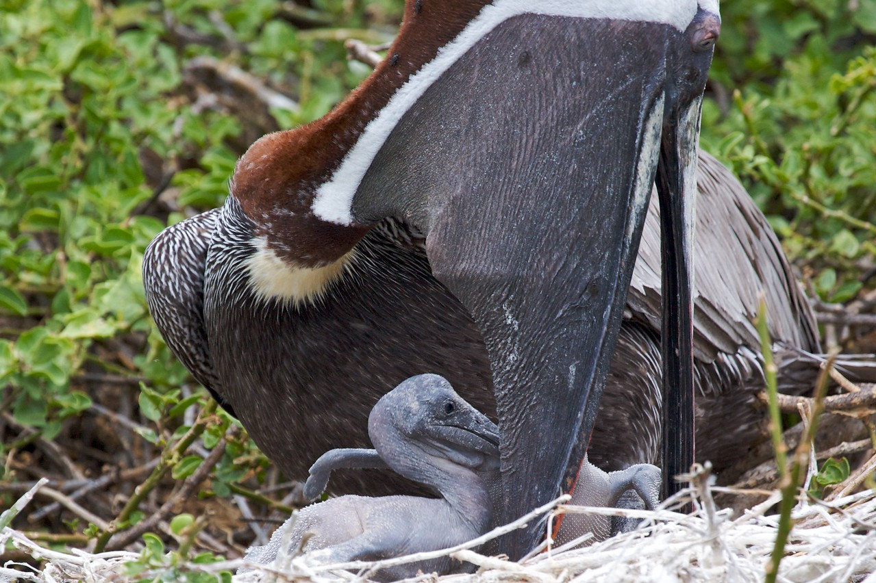 Brown pelican feeding chick, whose beak outline can be seen high in the parent's pouch