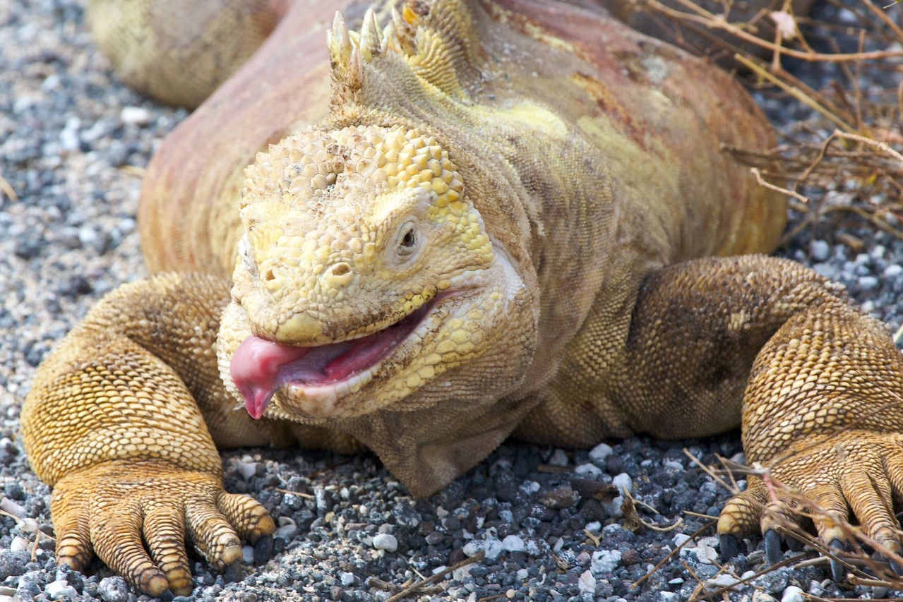 Galapagos land iguana. Published in the Spring/Summer 2012 issue of Destinations magazine (New Zealand).