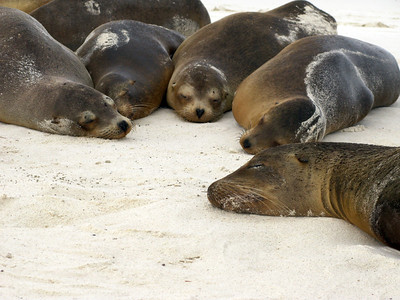 Sea lions. Published in the Spring/Summer 2012 issue of Destinations magazine (New Zealand).