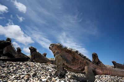 Galapagos marine iguanas in groups. Published in the Spring/Summer 2012 issue of Destinations magazine (New Zealand).