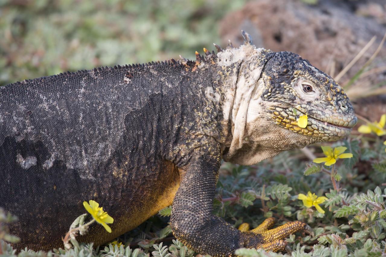 Hybrid iguana, South plaza island