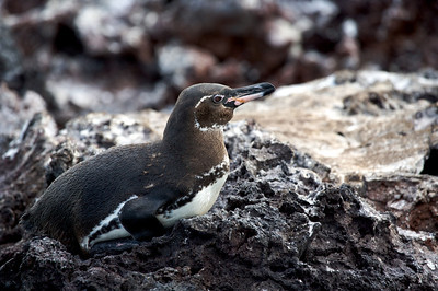 Penguin resting. Published in the Spring/Summer 2012 issue of Destinations magazine (New Zealand).