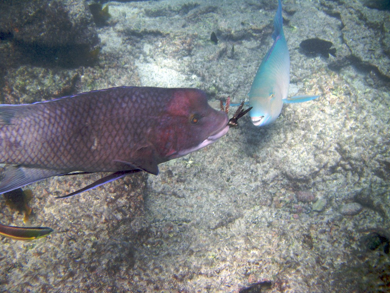 Parrot fish tries to steal anemone meal from hogfish