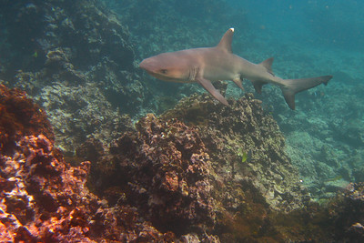 White-tipped reef shark