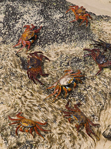 Crowd of Sally Lightfoot crabs