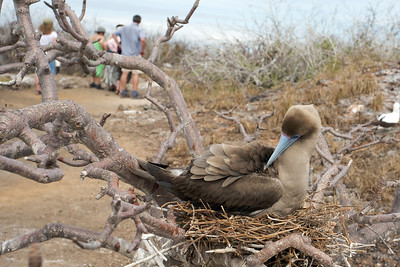 Red-footed booby nesting