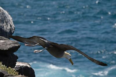 Albatross launching itself