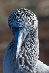 A blue-footed boobie looking fierce.