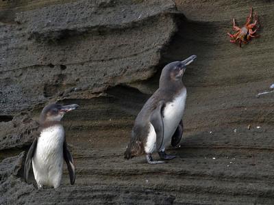 Galapagos penguins and Sally Lightfoot crab