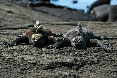 Galapagos marine iguana pair