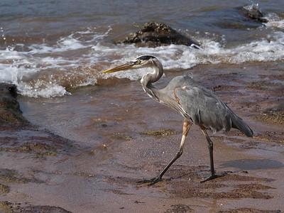 Great blue heron (same species as in the U.S.)