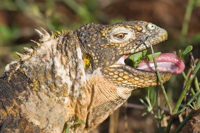 Land iguanas are vegetarians