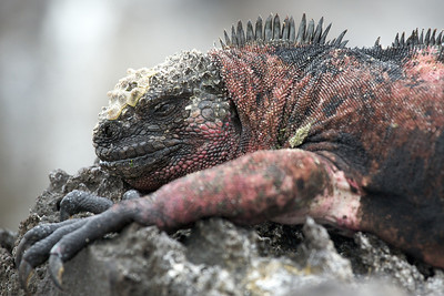 Galapagos marine iguanas. Published in the Spring/Summer 2012 issue of Destinations magazine (New Zealand).