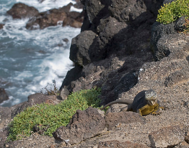 Land iguana beside sea cliff