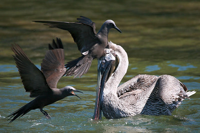 Brown pelican fishing with brown noddys -- note the small fish in pelican's beak